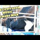 Milking Cows: How Fresh Milk Is Made & Processed